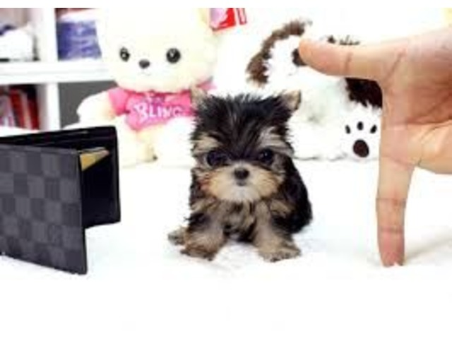Teacup Size Yorkie Puppies For Re Homing Animals Shreveport