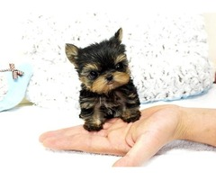two Teacup Size Yorkie puppies For Re-Homing xcvm