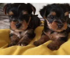 Charming cute teacup yorkie puppies for sale