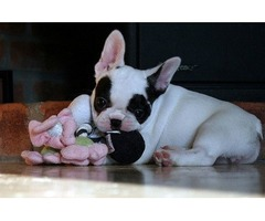 Amazing french bulldog puppies available for new homes