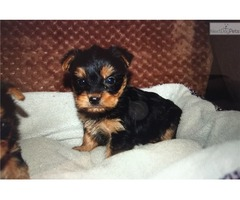 CUTE AMD LOVING TEACUP YORKIE) READY For ReHome