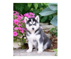 Gift adorable siberian husky puppies for adoption