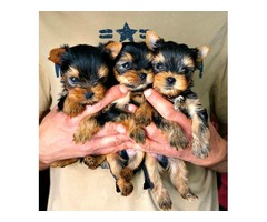 CUTE LOVING MALE YORKSHIRE TERRIER FOR SALE!!