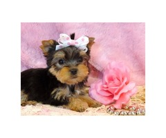 CUTE AMD LOVING TEACUP YORKIE) READY For available