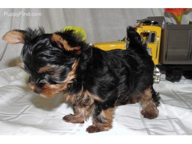 Cute Amd Loving Teacup Yorkie Ready For Available Animals