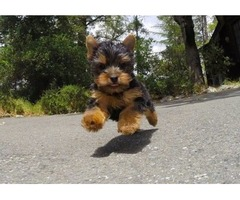 BEATIFULL TEACUP YORKIE) READY For ReHomeccc