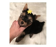 cute and adorable home trained yorkie puppies