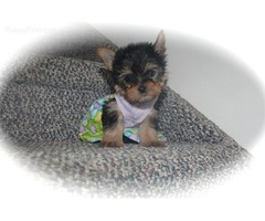 cute and adorable home trained yorkie puppies.my lovely Male and Female