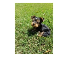 lovely Male and Female yorkie puppies are home
