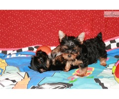 cute and adorable home trained yorkie puppies.my lovely
