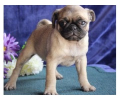 AKC PUG PUPPIES FOR SALE