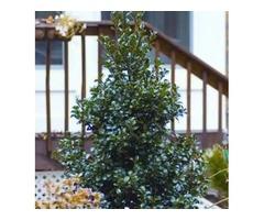 Purchase Ilex Meserveae Castle Spire® Holly Shrub - 2 Gallon
