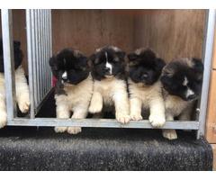 Friday Ready To Go .( 3 Akita Puppies Left)