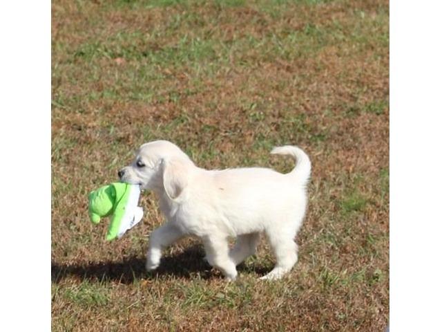 Nice Golden Retriever puppies ready to go   free-classifieds-usa.com