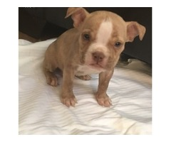 American Pit Bull Terrier puppies available