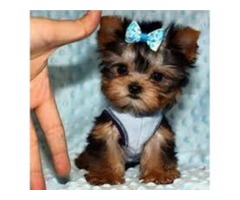 Teacup Yorkie Puppies ready for  Re-Homing  13 Weeks