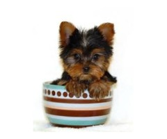 Male and Female Teacup Yorkie Puppies ready now 2 go