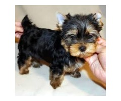 Re-Homing teacup Y.O.r.k.i.e  interested person  text (484)381-0472
