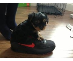 Teacup size Yorkie Estimating to be 2 .1/2 pounds full grown ready