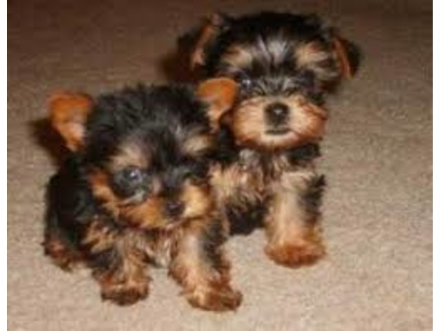 Male And Female House Trained Teacup Yorkie Puppies Ready Animals