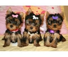 potty trained Teacup Yorkie Puppies ready