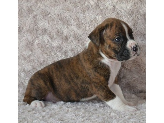 Cute And Adorable Boxer Puppies Ready To Go Animals Las Vegas