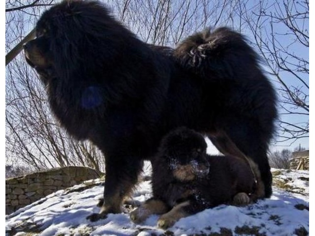 Tibetan Mastiff puppies available: {mother and daugther