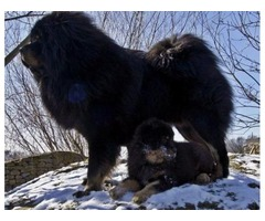 Tibetan Mastiff puppies available: {mother and daugther}