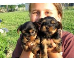 potty trained and House trained Teacup Yorkie Puppies ready for  Re-Homing