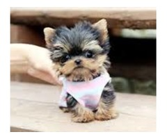 excellent in health condition Teacup Yorkie Puppies ready
