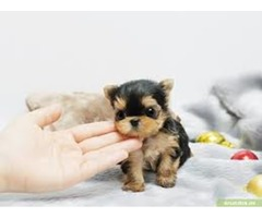 House trained excellent in health condition Teacup Yorkie Puppies