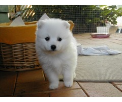 Nice Japanes Spitz puppies for sale