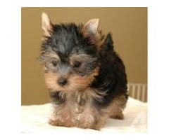 Teacup Yorkie Puppies ready  NO  health problem excellent in health condition