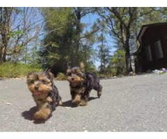 excellent in health condition Teacup Yorkie Puppies