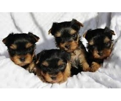 in Good health condition Teacup Yorkie Puppies ready
