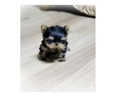 health guarantee.Teacup Yorkie Puppies ready for  Re-Homing