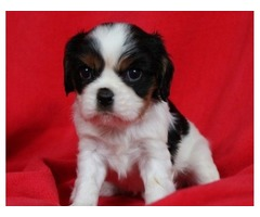 Pretty Cavalier King Charles Spaniel puppies for rehoming