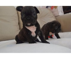 Gorgeous French Bulldog Puppies(681) 256-0982
