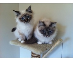 extraordinarily beautiful Birman kittens now reduced to looking for a good home