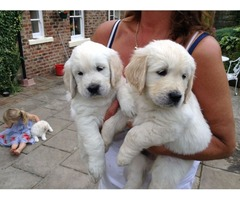 Golden Retriever puppies for sale,.