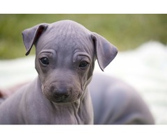 American Hairless terrier puppies for sale