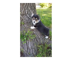 Pembroke Welsh Corgi puppies for sale...: