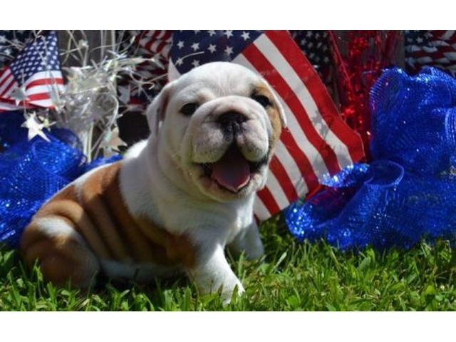 English Bulldog puppies available | free-classifieds-usa.com