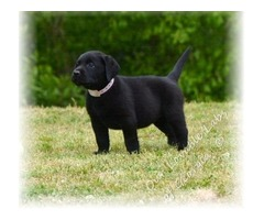 Pure Black Labrador Retriever puppies for sale