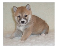 Cute and adorble Siba Inu puppies for sale