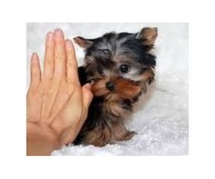 Yorkie Puppy Male&female Available | free-classifieds-usa.com