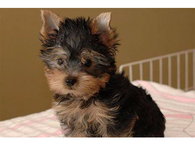 Purebred Tiny Yorkie Puppies ready to go | free-classifieds-usa.com