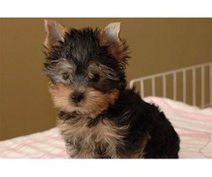 Purebred Tiny Yorkie Puppies ready to go