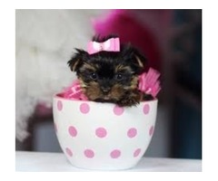 Very Pretty Teacup Size Yorkie puppies ready