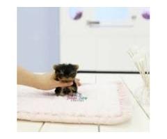 Gorgeous Teacup Yorkie Available!very tiny